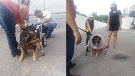 'Perrovaca' fue dada de alta, pero ahora deberá andar con una silla de ruedas