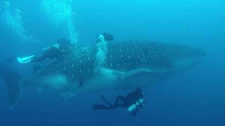 Los misterios del tiburón ballena en el Perú