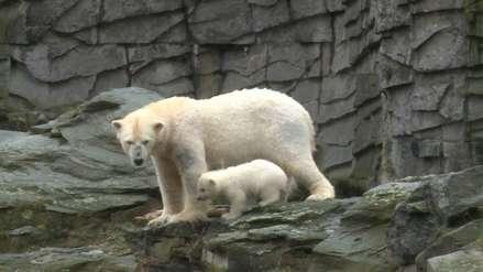 Un cachorro de oso polar hizo su primera aparición en un zoológico de Berlín [VIDEO]