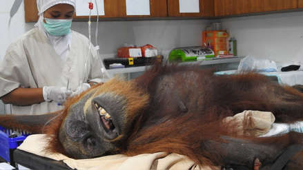 El dramático caso de la orangutana que lucha por su vida tras ser acribillada con 74 perdigones