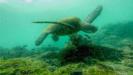 La increíble vida de Silvia, la tortuga marina que venció los peligros de altamar para reproducirse