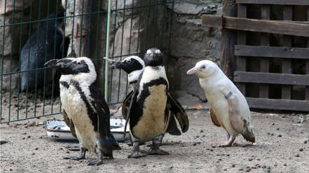 Zoológico de Polonia presenta a un insólito pingüino albino de especie en peligro de extinción