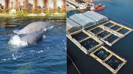 La cárcel de ballenas más grande del mundo está en Rusia y causa un grave problema a Vladímir Putin