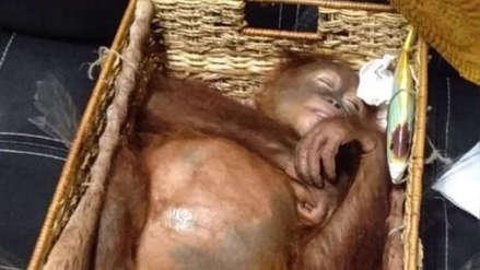 Turista ruso fue capturado en Indonesia por intento de contrabando de un orangután que drogó