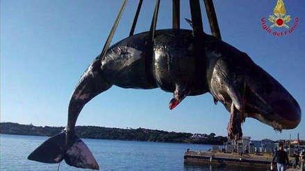 Una ballena embarazada fue hallada muerta con 22 kilos de plástico en su estómago