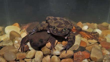 Romeo y Julieta: el primer encuentro de una pareja de ranas en peligro de extinción