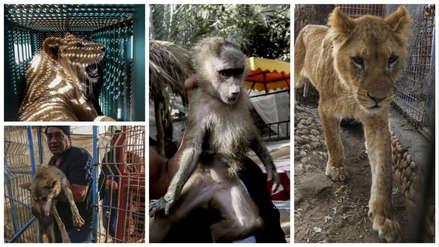 Así fue la evacuación de más de 40 animales frágiles y delgados del zoológico de Franja de Gaza [FOTOS]