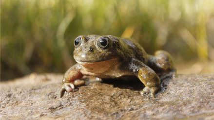La rana acuática: una especie amenazada redescubierta después de 68 años en Ayacucho