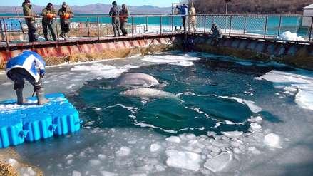 Rusia liberará a ballenas y orcas de la
