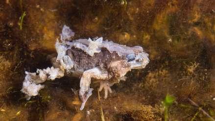 Temible hongo tuvo efectos devastadores en anfibios de Latinoamérica