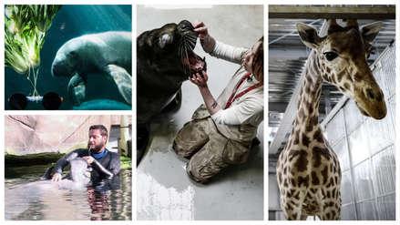 20 fotos de los cuidados que reciben jirafas, rinocerontes y lobos marinos en el zoológico de París