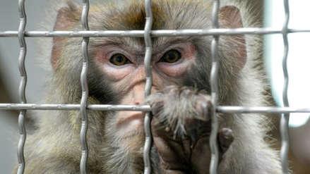 Científicos chinos implantaron gen vital para el desarrollo cerebral humano en monos
