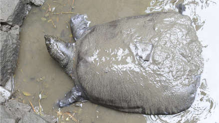 Murió la última tortuga hembra de una especie en peligro de extinción