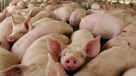 Científicos logran reactivar cerebros de cerdos muertos