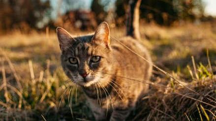 Australia le declara la guerra a los gatos: ¿Por qué quieren eliminar a dos millones de felinos?
