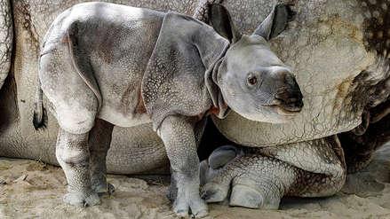 Conoce al primer rinoceronte que nació por inseminación artificial en un zoológico de Miami [FOTOS]