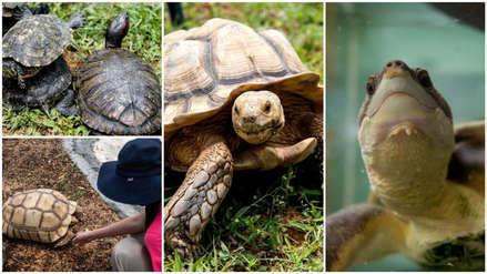 Al borde de la extinción: Tortugas luchan por sobrevivir en Singapur [FOTOS]