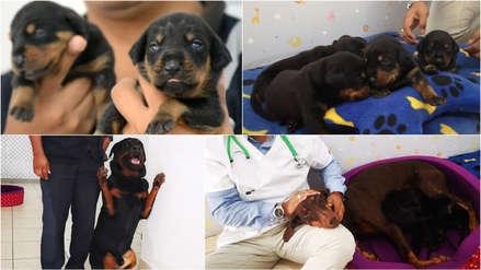 Conoce la historia de los cachorros que serán los nuevos refuerzos de la Brigada Canina de Surco [FOTOS]