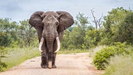 Un elefante mató a un soldado que luchaba contra los cazadores furtivos