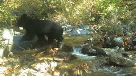 Extraña especie de oso es captada por primera vez en una de las fronteras más peligrosas del mundo