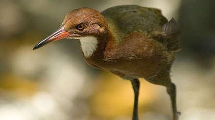 ¡Volvió a la vida! Reaparece un ave que se extinguió hace más de 100 mil años