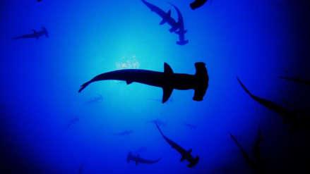 ¿Pueden los pescadores ayudar a la conservación de los tiburones martillo?