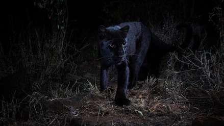 La verdadera pantera negra en Kenia | VIDEO