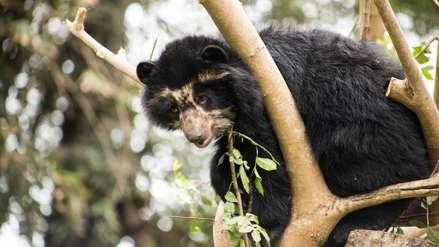 Oso de anteojos: la deuda pendiente del Perú con una especie vulnerable
