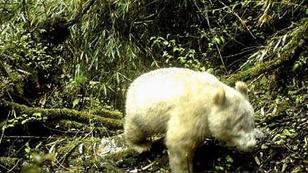 ¡Insólito! Registran un panda albino por primera vez en China [VIDEO]