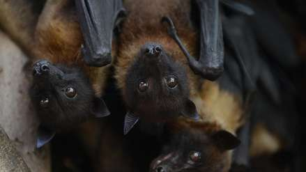 La hembra de esta especie de murciélago ofrece sexo a cambio de comida a los machos, según estudio