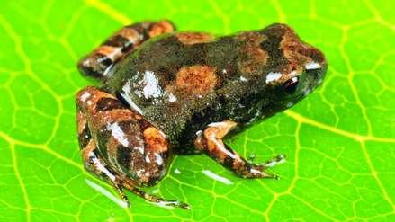 Una pequeña rana y una serpiente acuática son los nuevos hallazgos en los bosques del sur de Perú