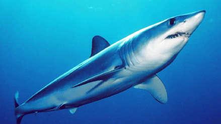 El tiburón más rápido del mundo se dirige velozmente hacia la extinción