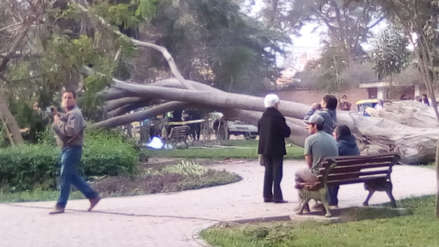 Un hombre murió aplastado por un inmenso árbol que cayó en un parque de Chaclacayo