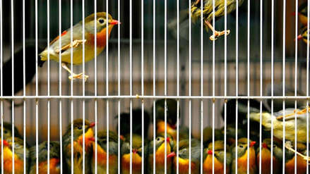 Un hombre intentó salir de Puerto Rico con 32 aves vivas dentro de su maleta