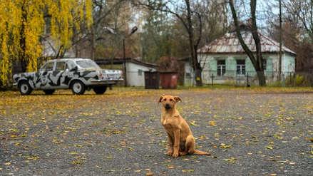 """""""Chernobyl"""": ¿Qué sucedió con los perros que sobrevivieron al desastre?"""