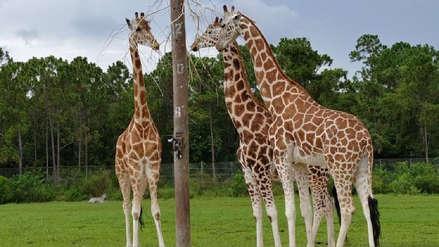 Dos jirafas murieron tras ser alcanzadas por un rayo en un safari en Florida