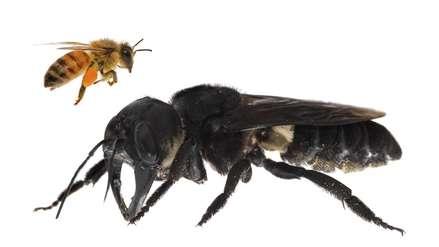 La abeja más grande del mundo es fotografiada con vida por primera vez en Indonesia