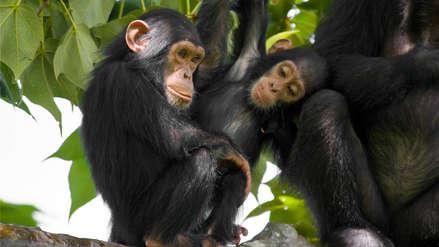 """¡En grave peligro! Los chimpancés ya solo sobreviven en territorios aislados y """"guetos forestales"""""""