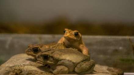 México: el sapo de cresta tiene futuro en los bosques de Xocoyolo