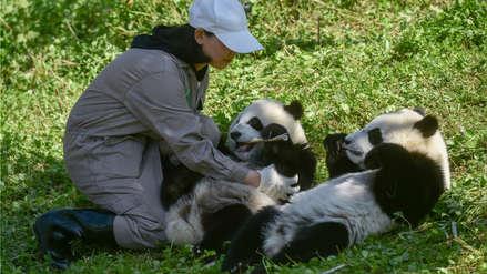 Dos pandas gemelos son una promesa para la supervivencia de la especie