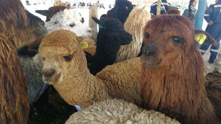 Puno: 14 imágenes del desfile de alpacas en Juliaca que batió el Record Guinness