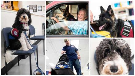 Conoce a los perros terapeutas entrenados para rehabilitar a veteranos de guerra [FOTOS]