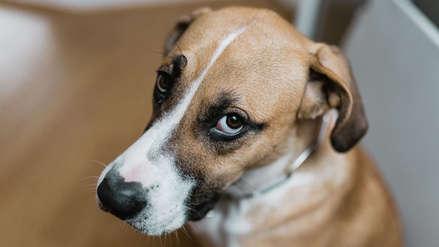 Científicos sostienen que los perros evolucionaron para atraer con su mirada a los humanos