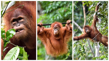 Dos orangutanas fueron devueltas a la vida salvaje en Indonesia [FOTOS]
