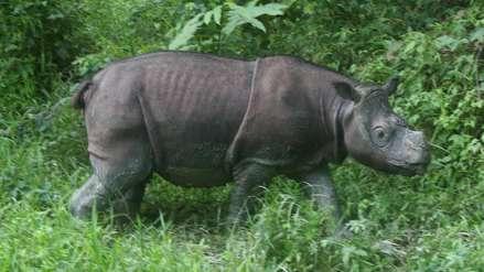 Muere el último rinoceronte macho de Malasia