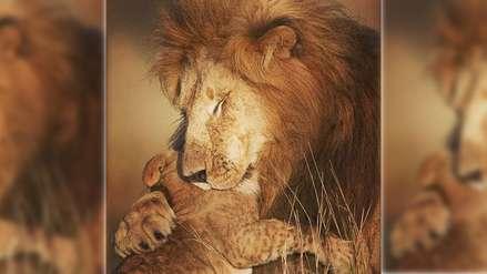 Fotógrafa captura el amor entre un león y su cachorro y en redes los comparan con Mufasa y Simba