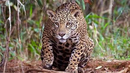 Precedente preocupante: el jaguar ya no habita el área protegida Santa Cruz La Vieja en Bolivia