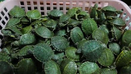 Malasia decomisó más de 5.200 crías de tortuga traficadas desde China