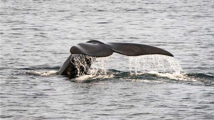 Seis ejemplares de ballena en peligro de extinción aparecen muertas en golfo de Canadá