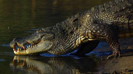 Estudio revela que los cocodrilos fueron vegetarianos, pero solo por un tiempo